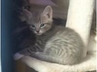 6wk old grey male kitten looking for forever home. Litter trained and eating. Due to leave 17th dec