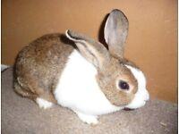Pure Bred Dutch Rabbits