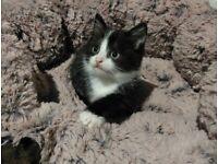 *SOLD*Adorable Boy! Tuxedo Kitten for sale