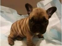 Amazing French Bulldog