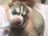 Stunning Siberian Husky puppies for sale