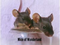 Mice for sale!