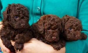 3 Chocolate Toy Poodle Pups Born on 11 April 2017. Bankstown Bankstown Area Preview