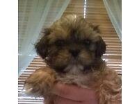 Pedigree Shih Tzu Puppy
