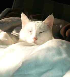 No cost just love - Pure white beautiful female cat