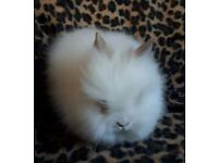 Double main lionhead female