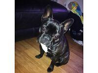 french bulldog puppy 8months