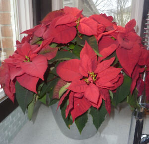 Huge REAL poinsetta in silver planter