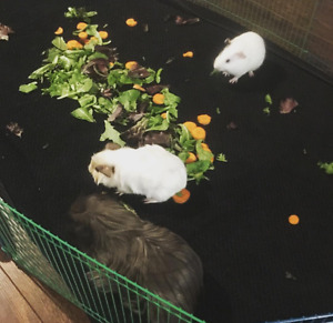 3 Young Male Guinea Pigs to good home