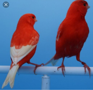 Looking for red factor canaries
