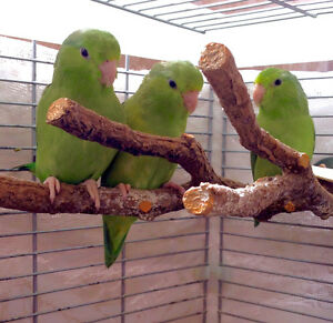 Pacific Parrotlets available London Ontario image 1