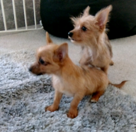 Yorkshire terrier cross puppies for sale