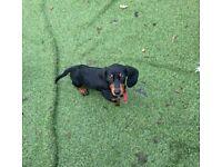 Miniature dash hound
