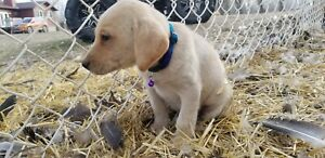 Black and yellow purebred lab puppies