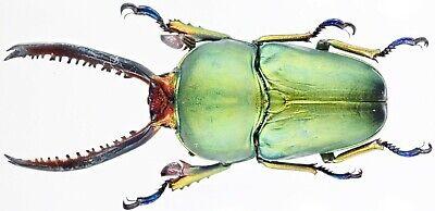 Male 40mm+ ....!! Prosopocoilus guerlachi Danang,C.Vietnam Insect