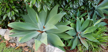 Agaves - multiple sizes