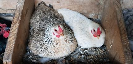 Young Bantam Wyandotte hens, various colours