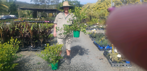 Cheap plant GOLD COAST HUGE NURSERY SALE HUGE SALE PRICES REDUCED Mudgeeraba Gold Coast South Preview