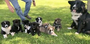 Akita | Adopt Dogs & Puppies Locally in Canada | Kijiji