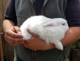 N.Z white,Rex,Dwarf rabbits