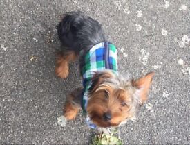 Yorkshire Terrier Dog, 1 year old.