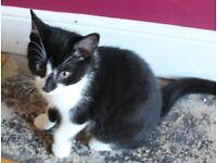 Male kitten for sale / 12 weeks old