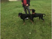 Offering dog walking services in Sheffield Rotherham and Barnsley