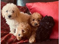 Stunning minature poodle puppies READY TO LEAVE