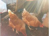 2 Warren chickens for sale