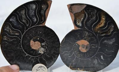 9878 RARE 1in100 BLACK Ammonite PAIR Deep Crystals 110myo FOSSIL LRG 88mm 3.5""