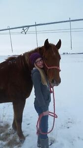 QH/Arabian mare for sale *PRICE REDUCED!!* Great deal!! Strathcona County Edmonton Area image 6