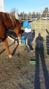 QH/Arabian mare for sale *PRICE REDUCED!!* Great deal!! Strathcona County Edmonton Area image 5