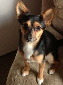 jack russell x chihuahua free to good home