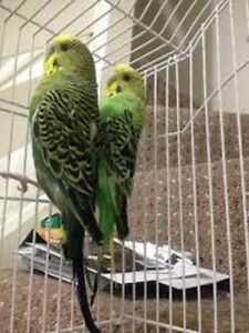 5 BUDGIES  3BABY+2 PARENTS +CAGE+FOLDABLE NEST+DECORATION