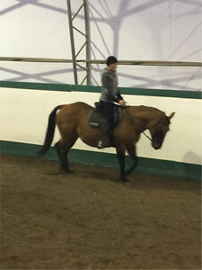 Beginner safe registered QH mare Prince George British Columbia image 5