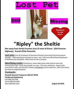 Ripley our lost Sheltie