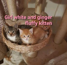 Cute fluffy Ginger kittens READY NOW!