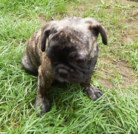 Brandle male French Bulldog pup ready to meet