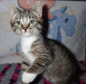 Mitted Tabby Male Kitten
