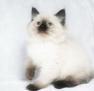 Fluffy Ragdoll Kittens for Adoption