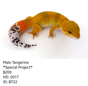 High Quality Baby Leopard Geckos