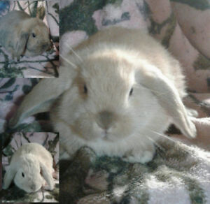 English Lop/Holland Lop Bunnies