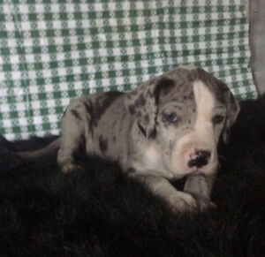 **XXL 75% EURO PUREBRED GREAT DANE PUPS ARE ALL SOLD***