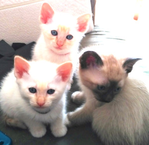 TCA Registered Flamepoint/Colourpoint Siamese Kittens