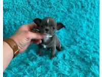 Chihuahua males 2 months old