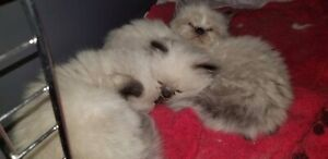 UPDATE Seal Point Himalayan Kittens born march 21st