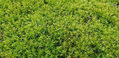 Star Moss, Live Plant, Terrarium, Vivarium, Gecko, Dart Frog, Reptile Habitat.