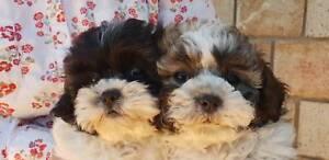 Adorable Shih Poo puppies