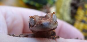 HIGH END Crested Gecko ($150 OFF HOLIDAY SALE)