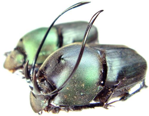 Insect - Proagoderus gibbiramus - Tanzania - Giant Pair 20~21mm ....!!